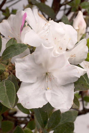 Encore Azalea Autumn Lily (ornamental, bush, shrub, white blooms, green foliage)