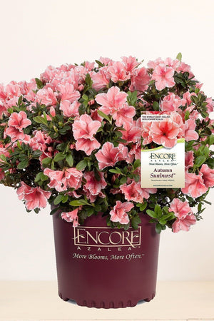Encore® Autumn Sunburst™, Rhododendron 'Roblet' PP25072, Reblooming Azalea for $ 41.95 at Root 98 Warehouse