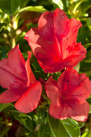 Encore® Autumn Sunset™, Rhododendron 'Roblen', PP16248, Reblooming Azalea
