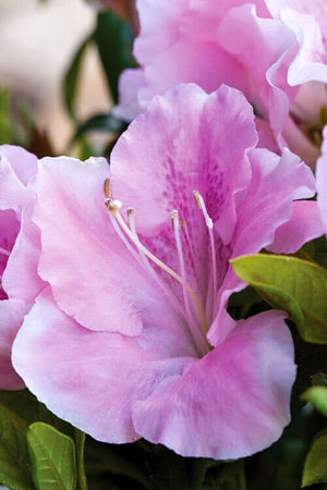 Encore Azalea Autumn Sweetheart (ornamental, bush, pink blooms, green foliage)