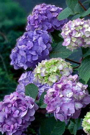 Endless Summer® BloomStruck® Hydrangea, PIIHM-II' PP25566 for $ 42.95 at Root 98 Warehouse