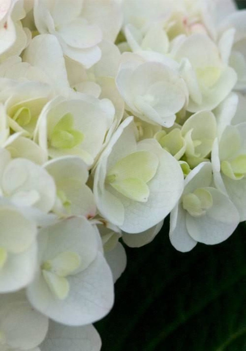 Endless Summer Blushing Bride Hydrangea (bush, butterfly plant, white flowers) for $ 42.95 at Root 98 Warehouse