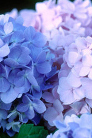 Endless Summer The Original Hydrangea (bush, butterfly plant, pink blue flowers) for $ 42.95 at Root 98 Warehouse