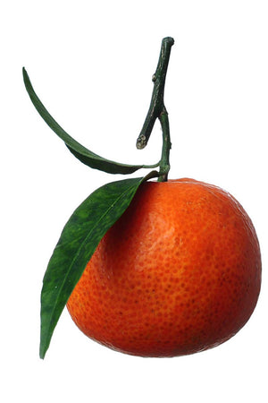 Fallglo Tangerine Tree, Brower Temple Hybrid (**Available in Florida Only**) for $ 106.95 at Root 98 Warehouse