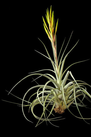 Air Plant, Fasciculata (Excludes Ca, Az), Size: 1 Pack