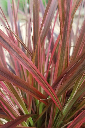 Fireworks Pennisetum Grass (burgundy grass, ornamental, ground cover)