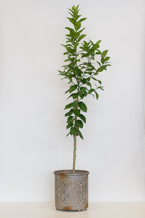 Frost Lisbon Lemon Tree, Citrus (Excludes Ca, Az, La, Tx), Size: 1 Gallon CitraPot