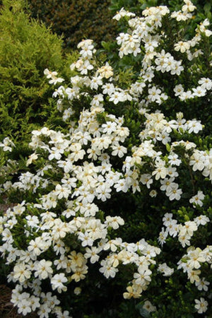 Gardeners Confidence Collection® Heaven Scent® Gardenia