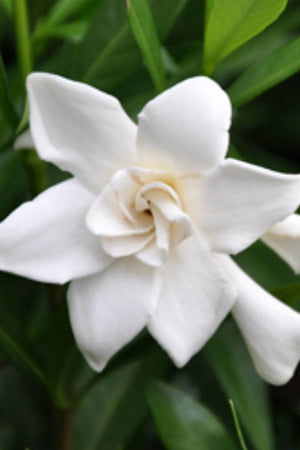 Frost Proof, Gardenia (bush, hedge, green foliage, white blooms fragrant) for $ 37.95 at Root 98 Warehouse