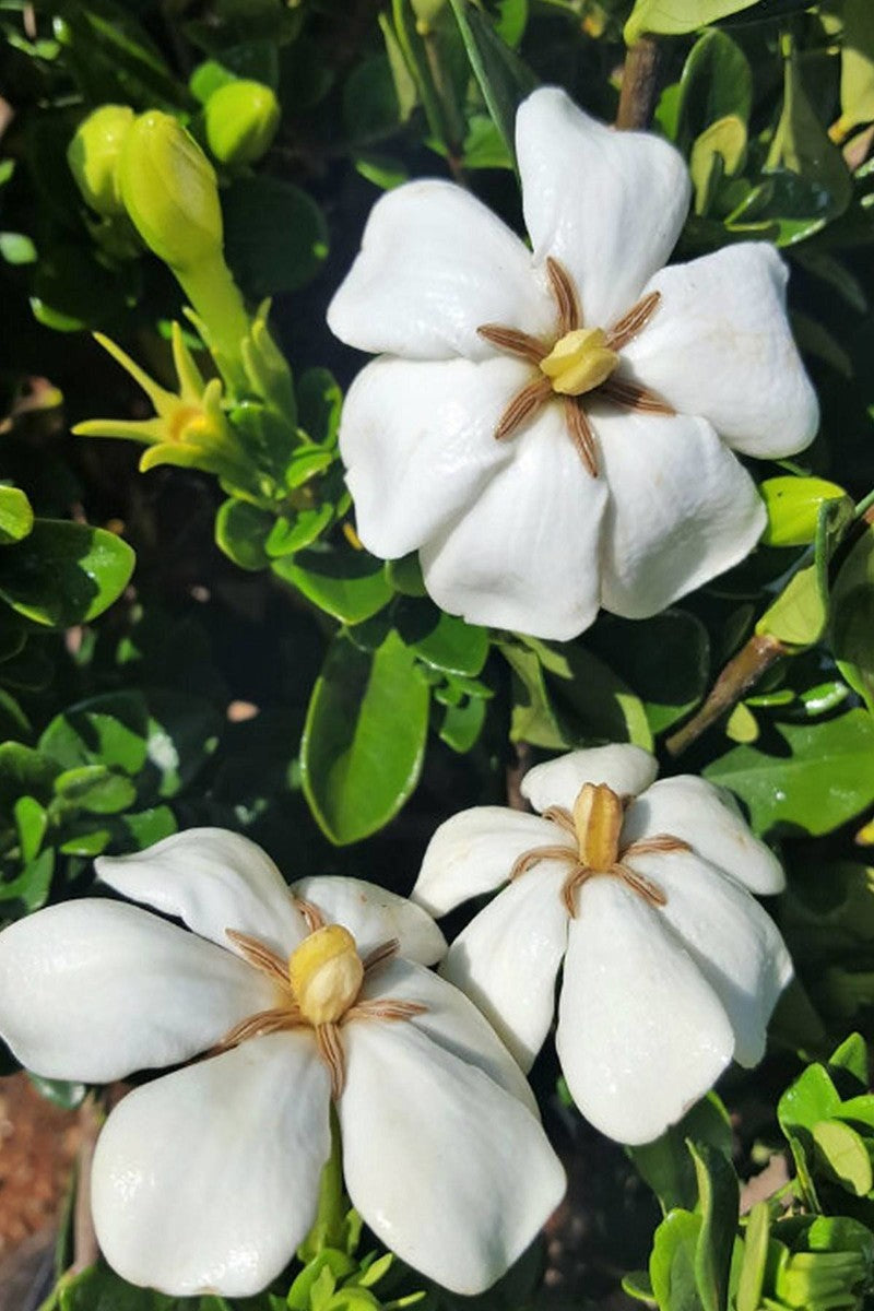Hardy Daisy, Gardenia (bush, hedge, green foliage, white blooms fragrant)