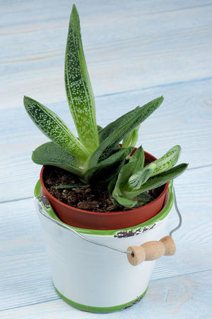 "Gasteria Succulent Assortment, thick ""tongue"" shaped leaves,(Growers Select) (State Restrictions Apply)"