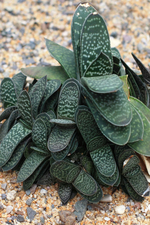 "Gasteria Succulent Assorted, thick ""tongue"" shaped leaves,(Growers Select) (Excludes Ca, Az) Size: 3-inch pot x 12"
