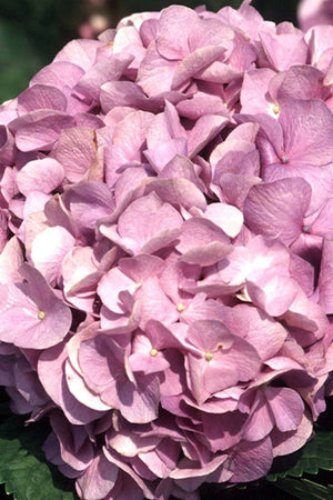 Glory Blue Hydrangea (bush, ornamental, butterfly plant, lilac-blue flowers)