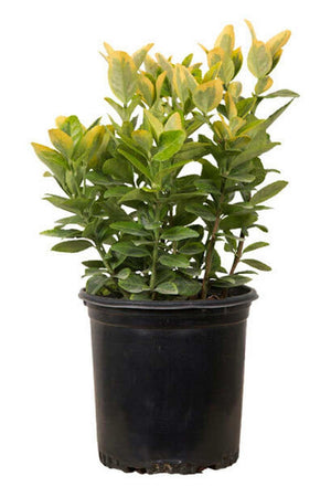 Golden Euonymus (bush, hedge, ornamental, green-yellow foliage) for $ 37.95 at Root 98 Warehouse