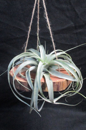 Air Plant, Hanging Cypress with Xerographica (Excludes Ca, Az), Size: 1 Pack