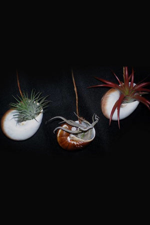Hanging Nautilus Shells for Tillandsia Air Plant (Excludes Ca, Az) Size: 1 Pack