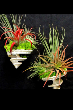 Tillandsia Air Plant, Hanging Spiral Shell Garden (Excludes Ca, Az) Size: 1 Pack