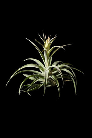 Tillandsia Air Plant Bromeliad, Harrisii (Cant Ship AZ CA)