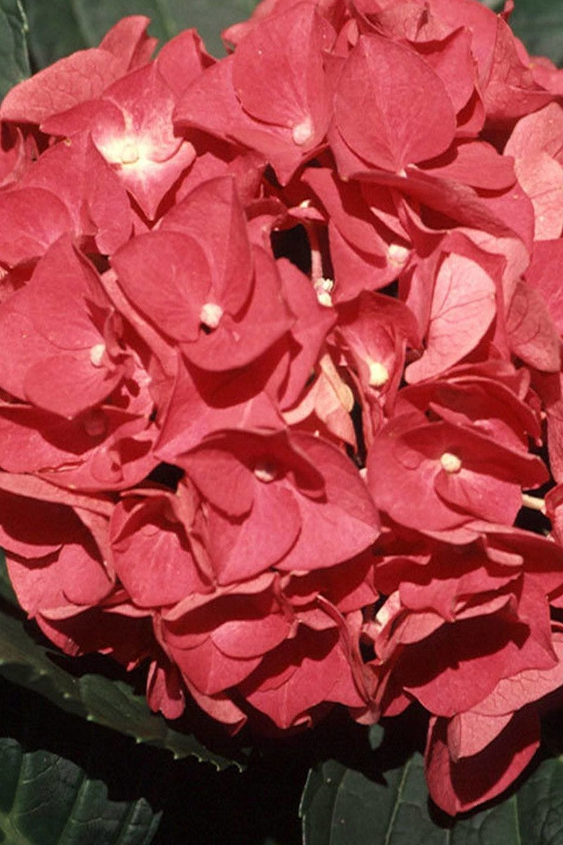 Hydrangea Charm (bush, ornamental, green foliage, red flowers)