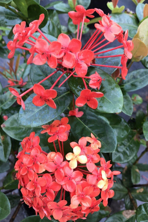 Jungle Flame Geranium,Ixora Coccinea Maui Red (Excludes: AZ, CA) for $ 60.95 at Root 98 Warehouse