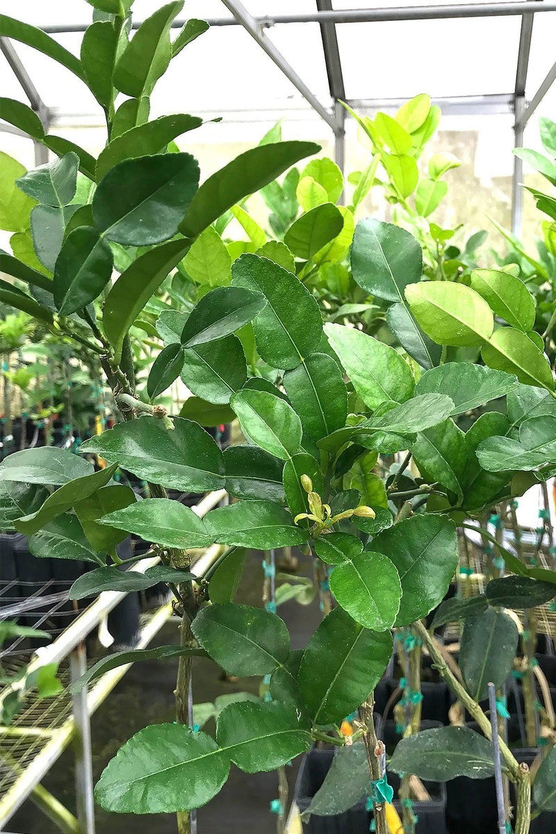 Kaffir Lime Tree, Citrus (Excludes Ca, Az, La, Tx), Size: 1 Gallon CitraPot