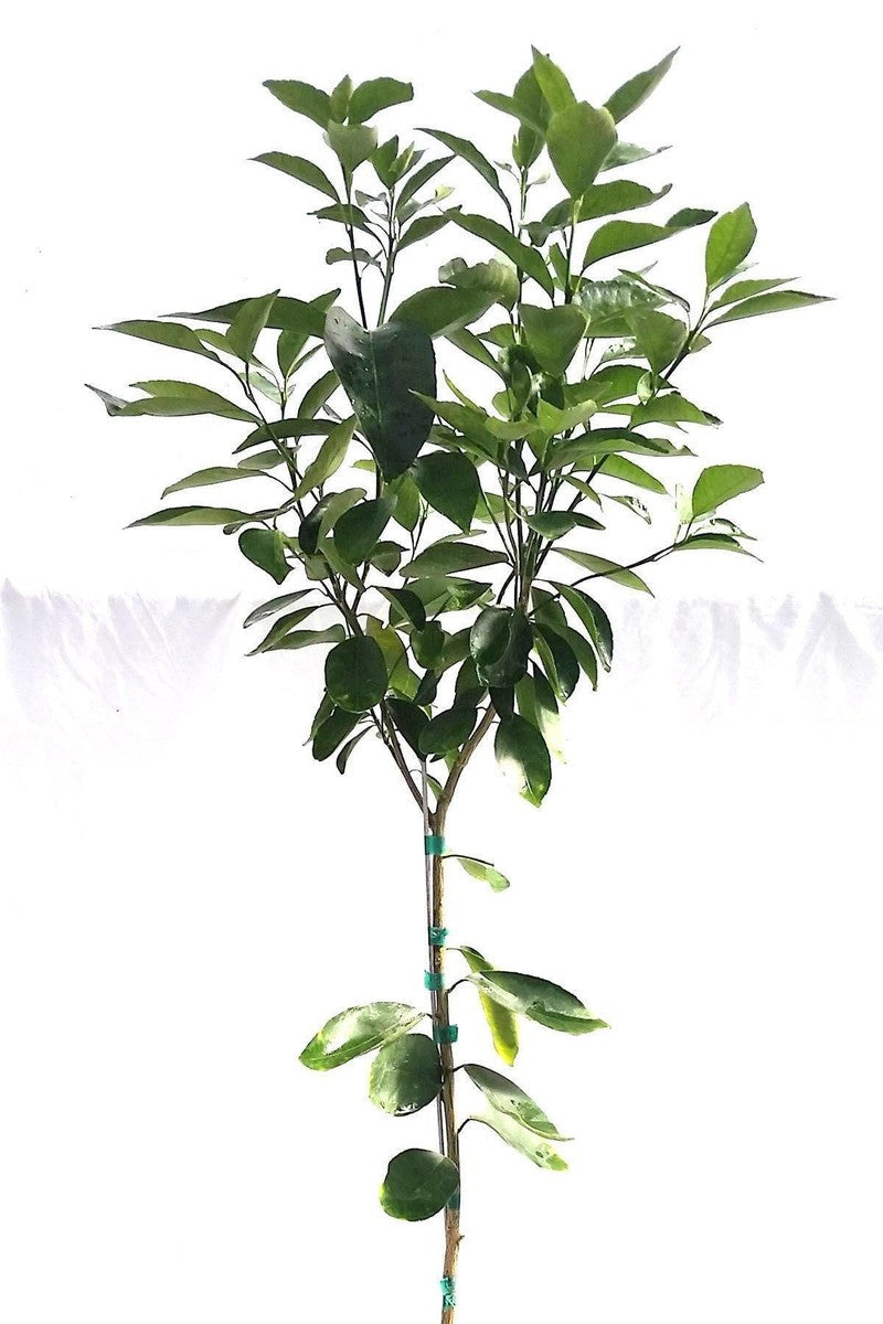 Lee Tangerine Tree, Citrus (Excludes Ca, Az, La, Tx), Size: 1 Gallon CitraPot