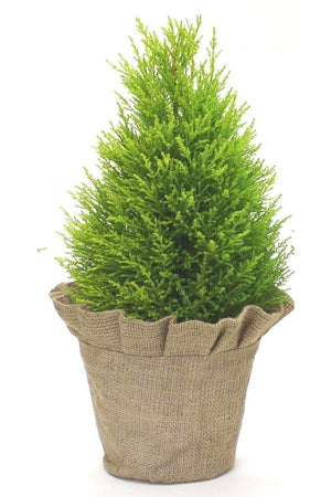 "Lemon Cypress Goldcrest Topiary Tree, Size: 6.5"" pot"