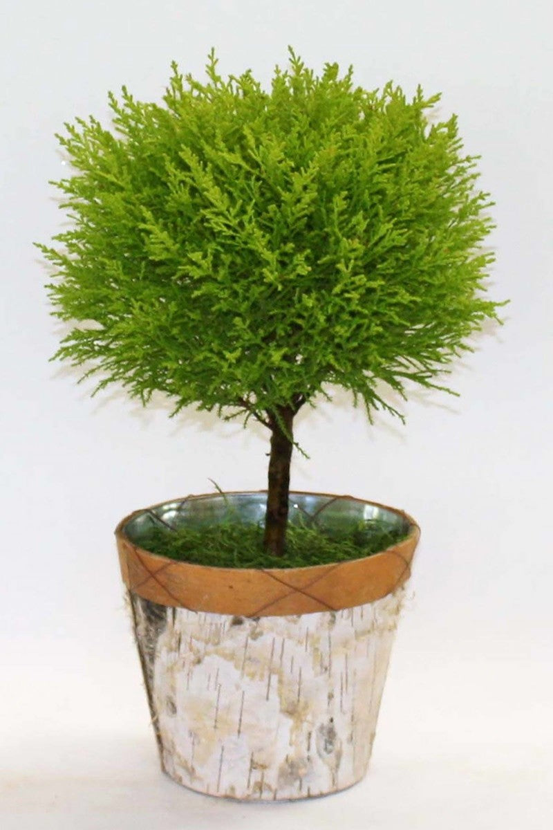 Lemon Cypress Goldcrest Topiary Tree (Free 3-Day Shipping)