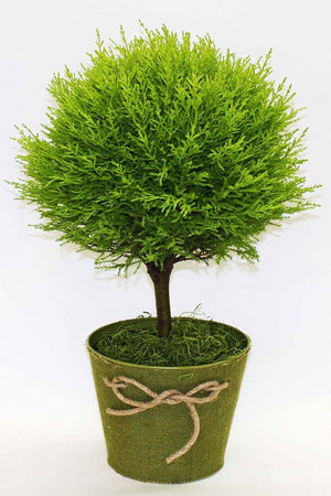 Lemon Cypress Goldcrest Topiary Tree,(Free 2-Day Shipping) for $ 85.95 at Root 98 Warehouse