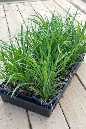 Liriope Big Blue (ground cover, grass, green foliage) Size: 2.5 Quart