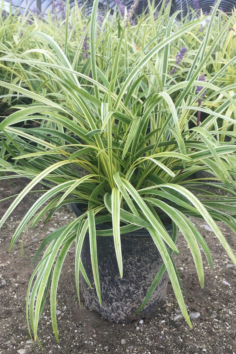 Buy Liriope Variegated Grass Ground Cover Ornamental Grass At