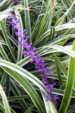Liriope Variegated Grass (ground cover, ornamental, grass) for $ 37.95 at Root 98 Warehouse