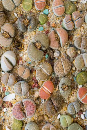 Lithops Succulent (living stone) Bulbous Fused Leaves, Beautiful Flowers (Cant Ship AZ CA)