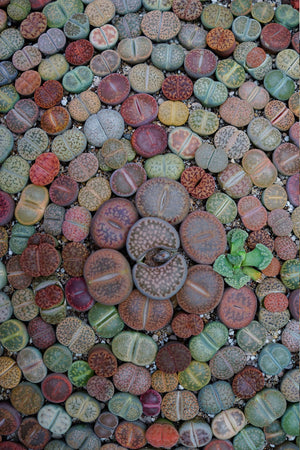 Lithops Succulent (living stone) Bulbous Fused Leaves,(Excludes: AZ, CA) for $ 34.95 at Root 98 Warehouse