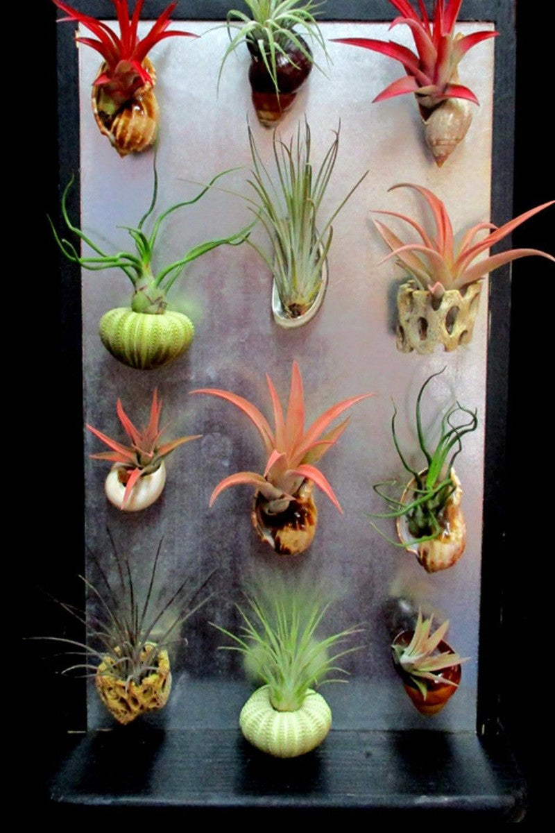 Tillandsia Air Plant Bromeliad with Magnet (Cant Ship AZ CA) for $ 29.95 at Root 98 Warehouse