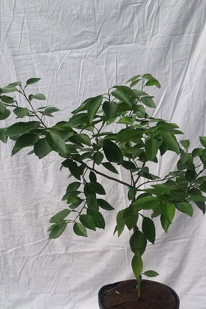 Minneola Tangelo Tree, Citrus (Excludes Ca, Az, La, Tx), Size: 1 Gallon CitraPot