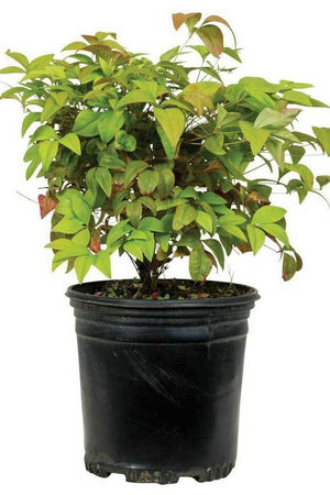 Nandina Dwarf Firepower (ornamental, bush, green-orange foliage) for $ 66.95 at Root 98 Warehouse
