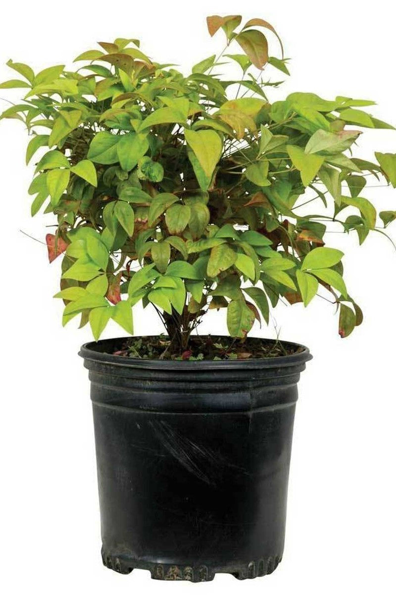 Nandina Dwarf Firepower (ornamental, bush, green-orange foliage) for $ 37.95 at Root 98 Warehouse