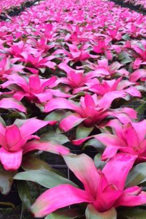 Neoregelia Flirting (P) Bromeliad, Patented Rare Hybrid, 6 Pack, (State Restrictions Apply)