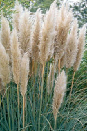 Pampas Grass (landscape, ornamental, grass, green foliage)