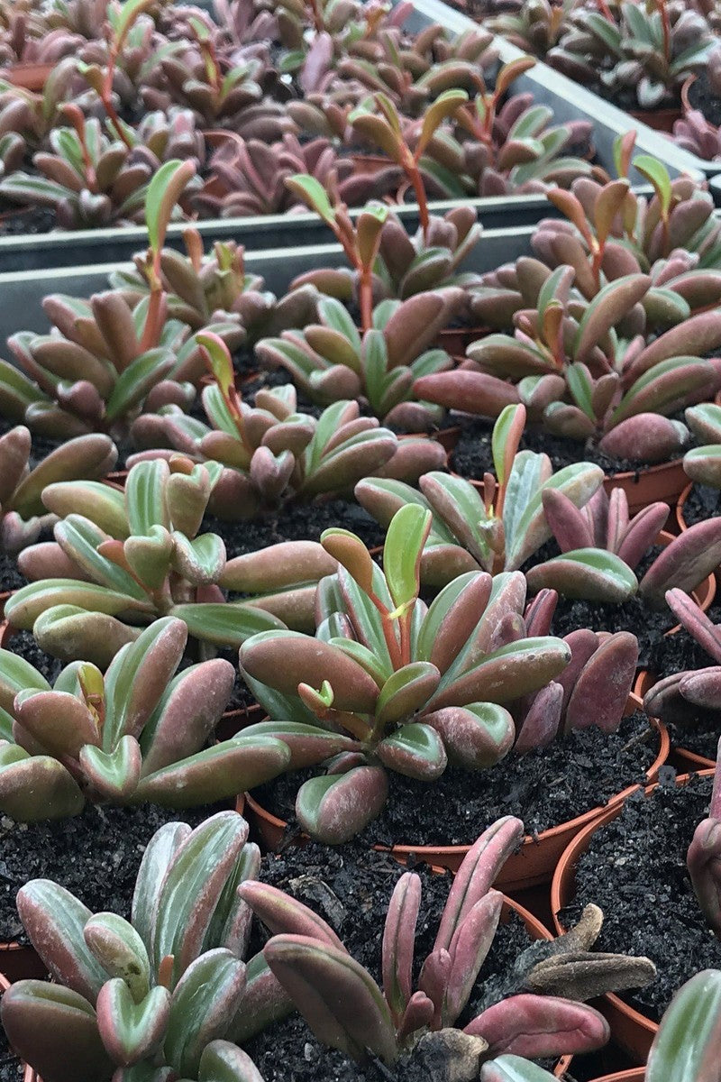 Peperomia Houseplant Assortment (Growers Select) (State Restrictions Apply)