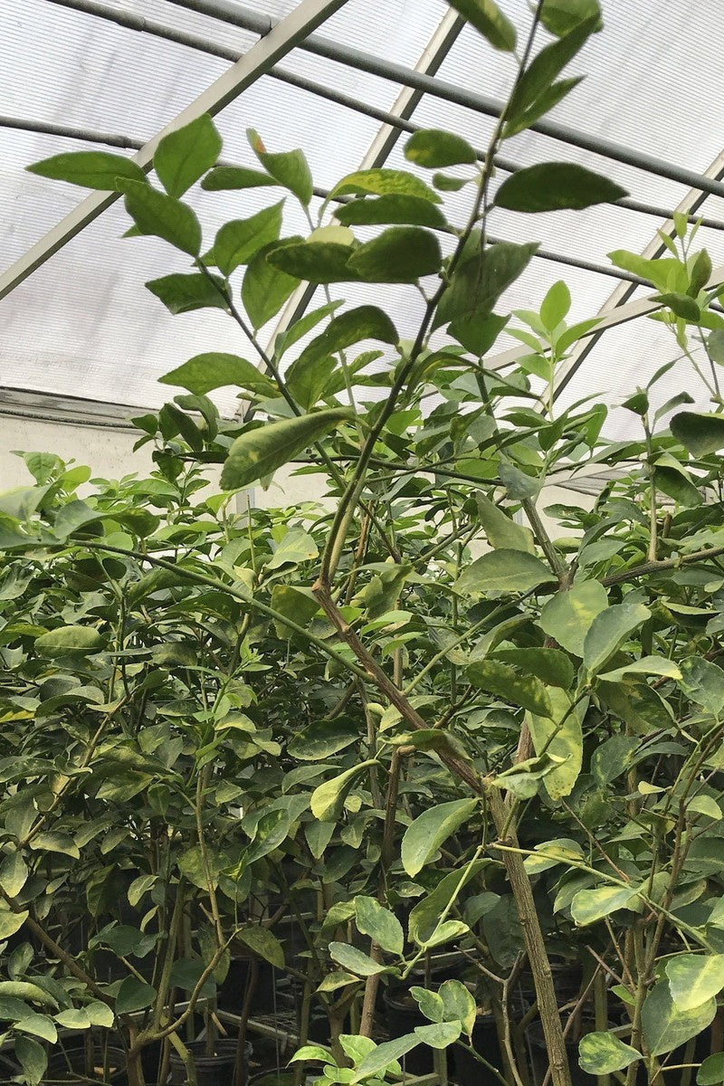 Persian Lime Tree, Tahiti Citrus (Excludes: CA,TX,LA,AZ) for $ 49.95 at Root 98 Warehouse