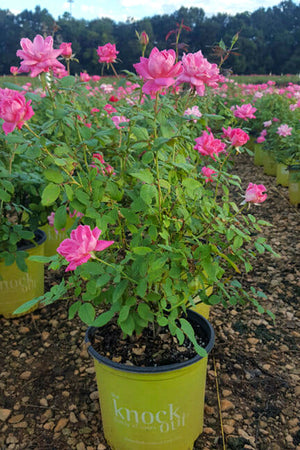 Pink Double Knock Out Rose (ornamental, bush, fragrant, pink flowers)