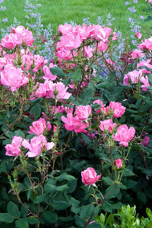 Pink Knock Out® Rose, Rosa 'Radcon' PP#15070, CPBR#2044