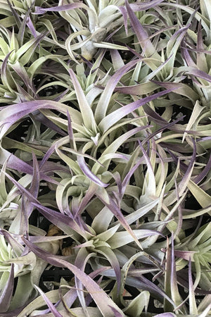 Air Plant, Plagiotropica (Excludes Ca, Az), Size: 1 Pack