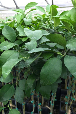 Ponderosa Lemon Tree, Citron Hybrid Citrus (Excludes: CA,TX,LA,AZ)