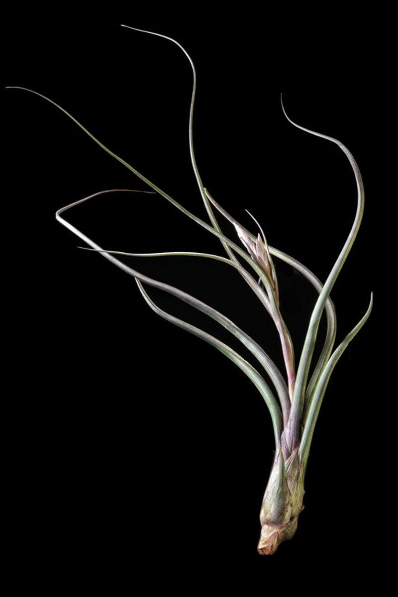 Air Plant, Pseudobaileyii (Excludes Ca, Az), Size: 1 Pack