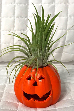 Air Plant with Pumpkins (Excludes Ca, Az), Size: 1 Pack