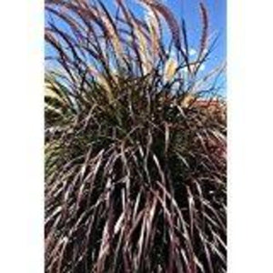Purple Fountain Grass Rubrum Pennisetum (ornamental, grass, burgundy foliage)