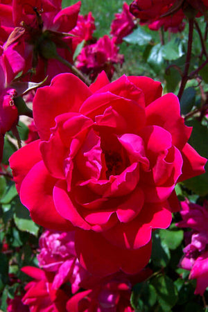 Red Double Knock Out Rose (ornamental, bush, fragrant, red flowers) for $ 42.95 at Root 98 Warehouse